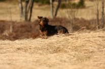 """Pes """"Samík"""""""